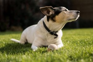 Jack Russell T
